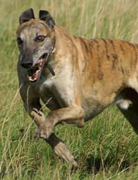 Greyhound Dogs Track Kennels Cruelty